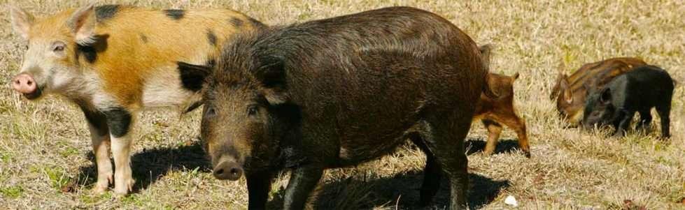 Feral swine family