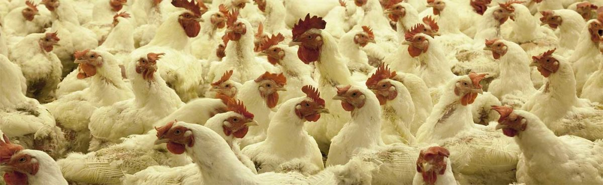 Poultry production and secure food supply plans