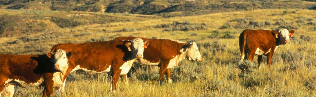Cattle may be exposed to anthrax on the range.
