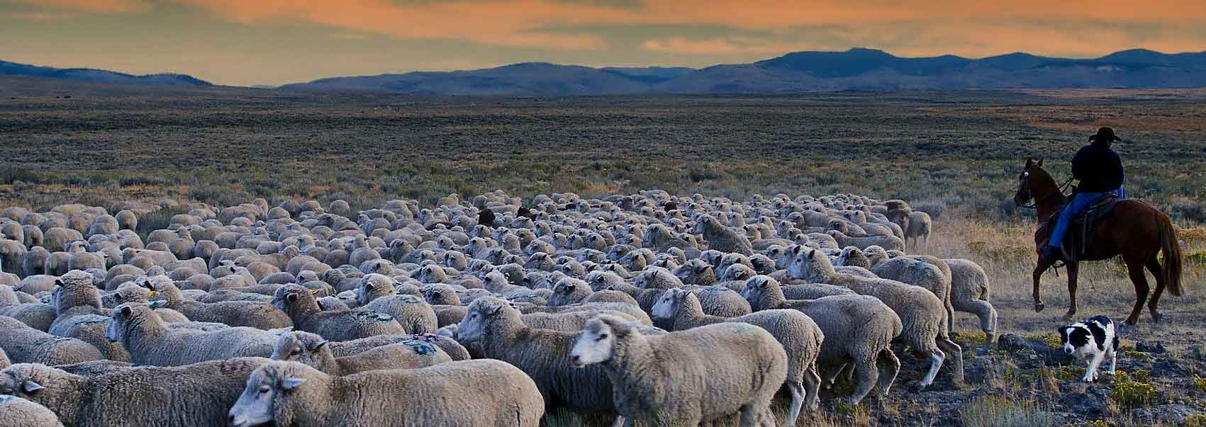 Idaho rancher herding sheep on the range