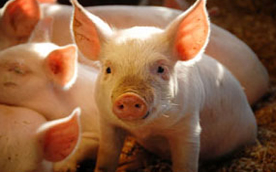 Swine biosecurity practices