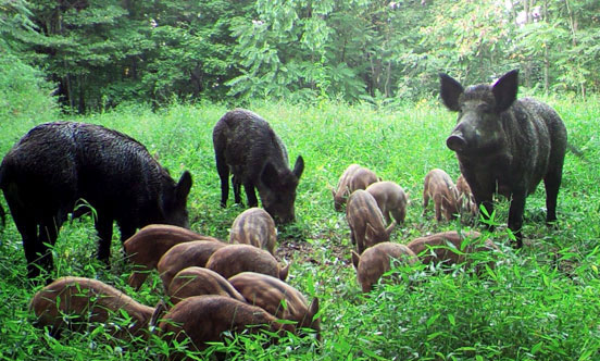 Feral swine adults with piglets