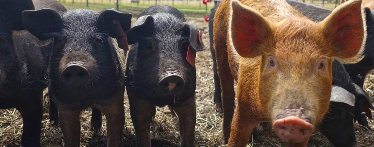 Four farm pigs
