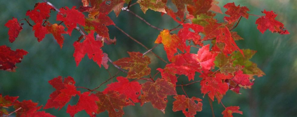 Red maple leaves on branches