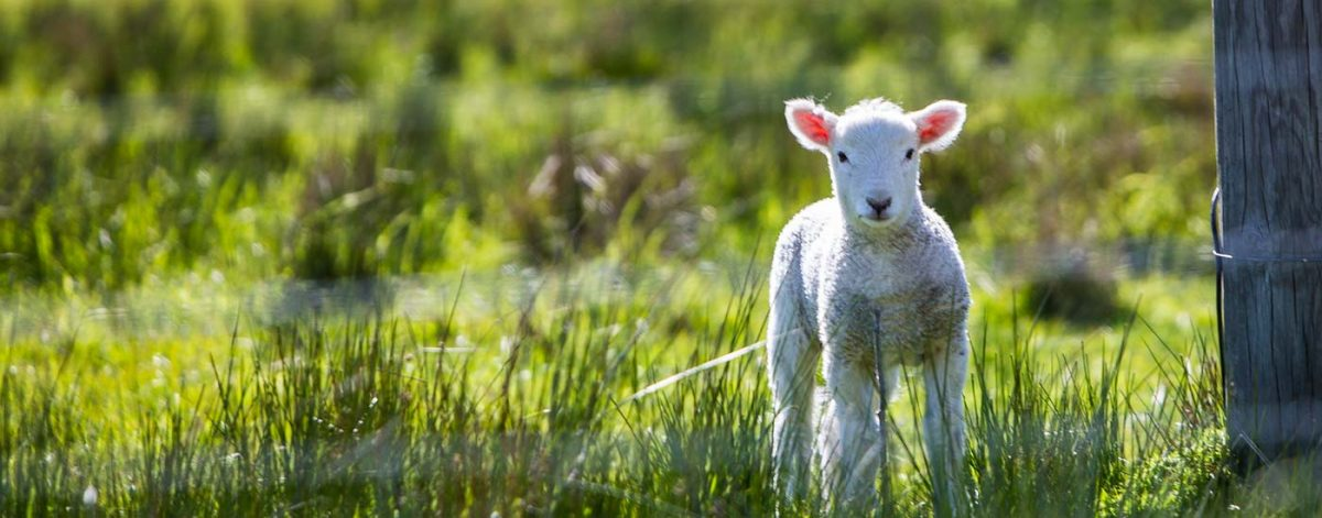 Lamb in a field