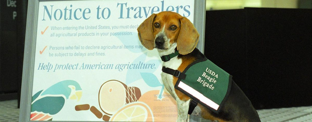 USDA beagle inspector dog