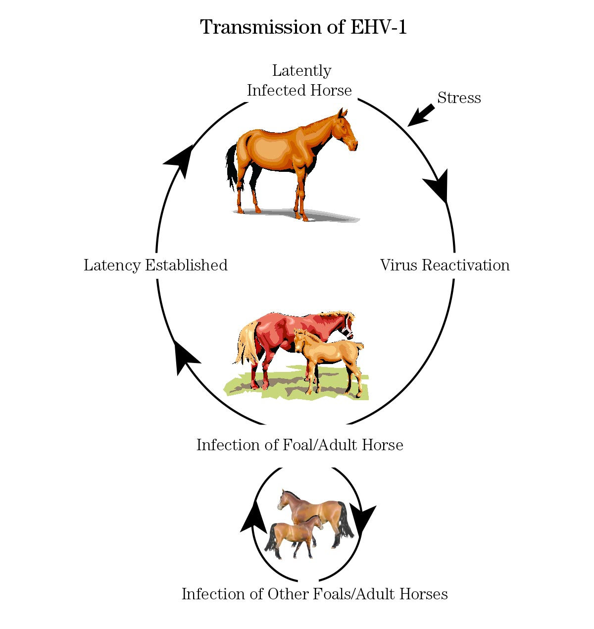 Transmission of EHV-1 in Horses