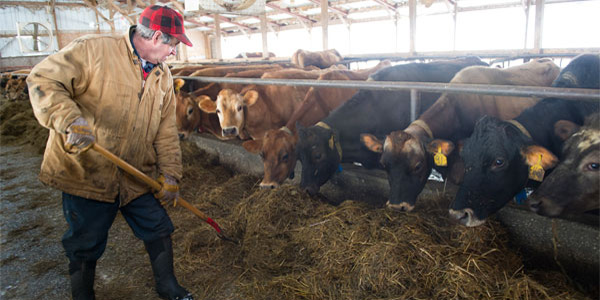 Dairy farmer feeding hay to cows