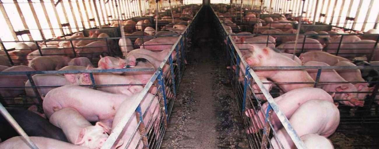 Swine farm