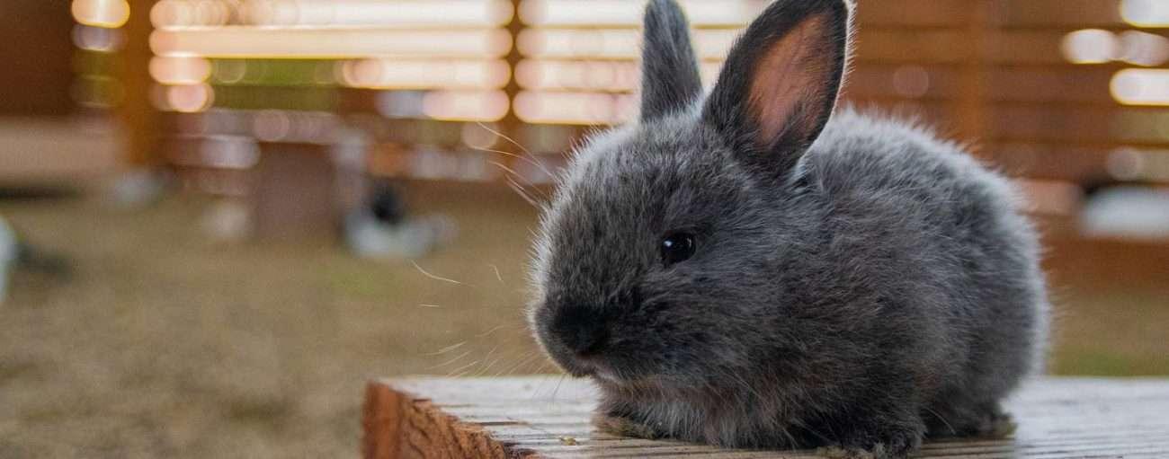 Grey rabbit sitting