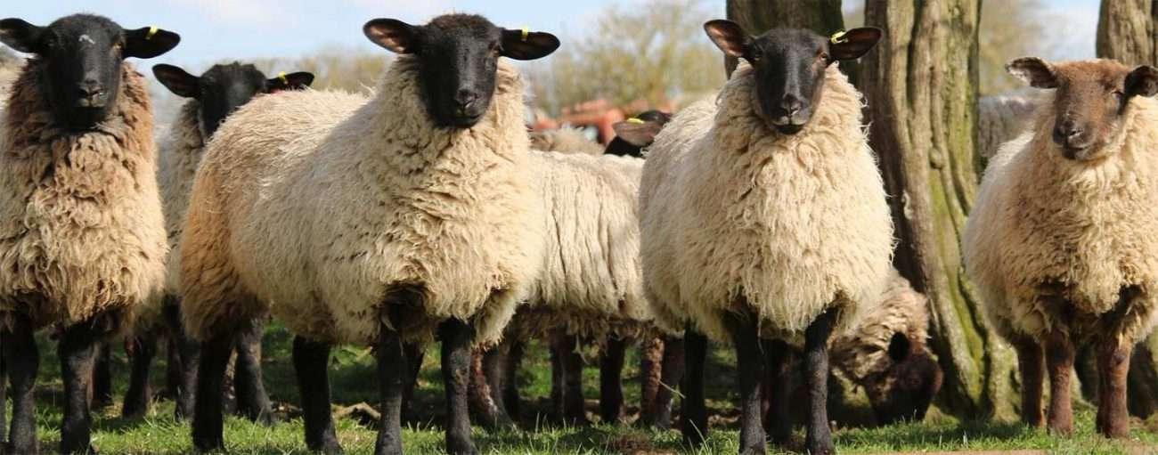 Black faced sheep herd