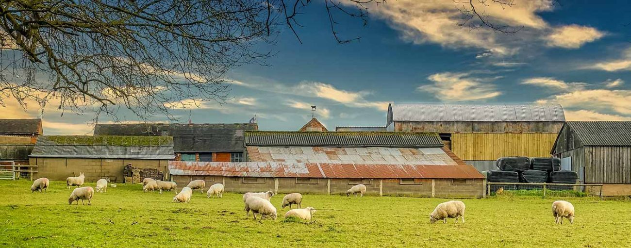Sheep in a field with barns in the background